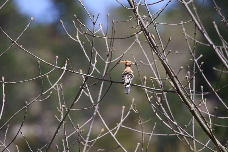 Birdwatching Bird Watching Bird Photography Animal Themes Animals In The Wild Upupa Epops Upupa