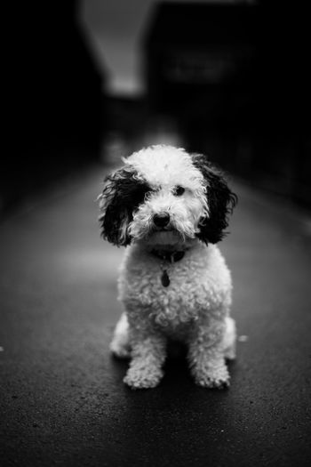 Little rascal! 50mm 6D Bichpoo Blackandwhite Canon Dog Dog Portrait Looking At Camera Milo Nifty Fifty Outdoors Pets Poochon Portrait Teddy Bear Walkies Walking The Dog