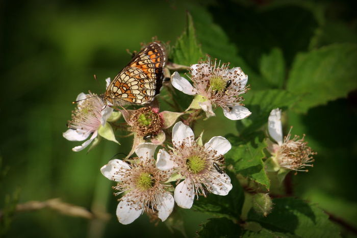 Euphydryas Maturna Beauty In Nature Blackberry Flowers Buterfly Close-up Day Flower Flower Head Flowering Plant Focus On Foreground Fragility Freshness Growth Inflorescence Insect Invertebrate Nature Outdoors Petal Plant Pollination Selective Focus Vulnerability