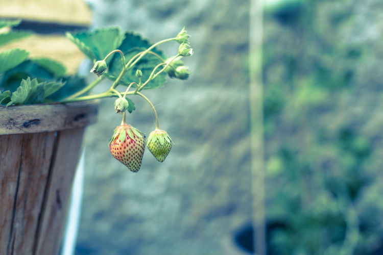 Close-up of strawberry growing