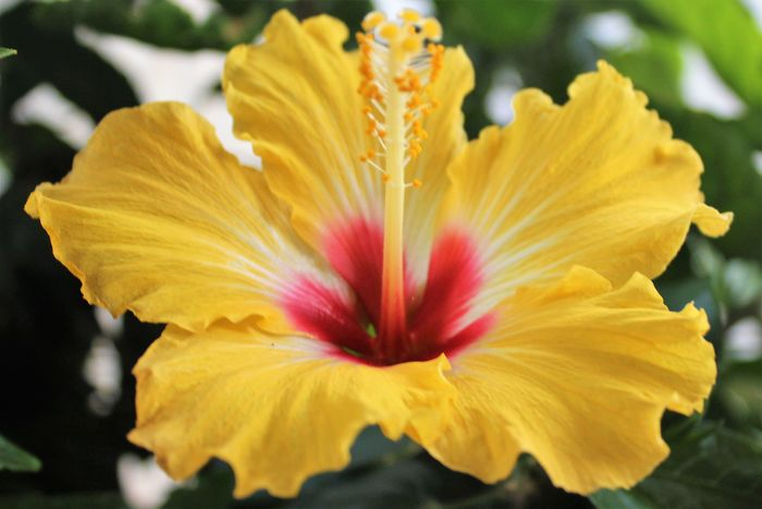 Gorgeous Flower Beauty In Nature Close-up Flower Flower Head Flowering Plant Focus On Foreground Fragility Freshness Growth Hibiscus Inflorescence Nature No People Outdoors Petal Plant Pollen Springtime Stamen Vulnerability  Yellow