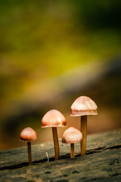 Portuguese mushrooms Beauty In Nature Close-up Day Fragility Freshness Fungus Growth Mushroom Nature No People Outdoors Toadstool Vegetable