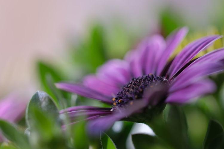 Beautiful Flower 🌺 Macro Macro Photography Flower Head Flower Pink Color Petal Purple Defocused Close-up Plant Eastern Purple Coneflower Blossom In Bloom Plant Life Botany Focus Flowering Plant Blooming