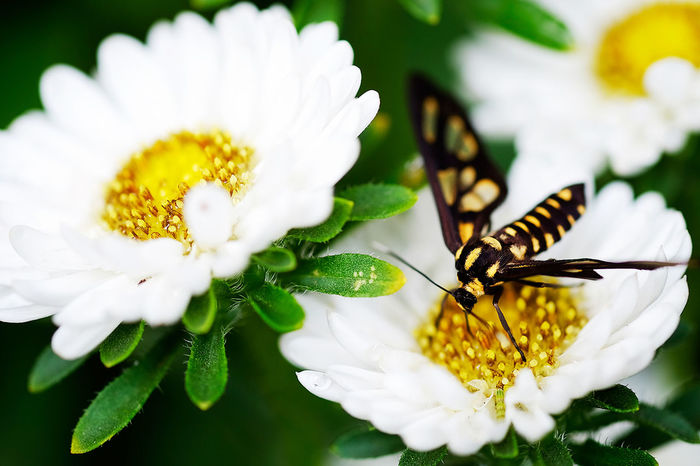Passer by Close-up Commercial Photography Cover Photo Fujifilm Fujifilm Xt-10 Fujifilm_xseries Macro Bees Macro Insects Macro Lens Macro Photography Macro Plants Travel Baguio White Flower