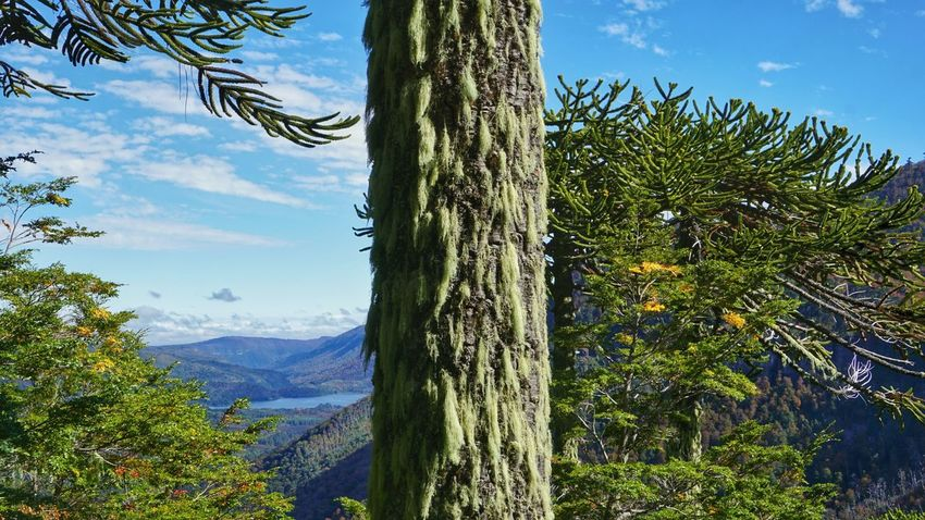 Tree Pinaceae Nature Pine Tree Forest Day Tree Trunk Sky Growth Outdoors Beauty In Nature No People Mountain Branch Landscape Scenics Divide Hiking Tranquility Nature Photography Nature_collection Curacautin EyeEm Nature Lover Sony A6000 Taking Photos