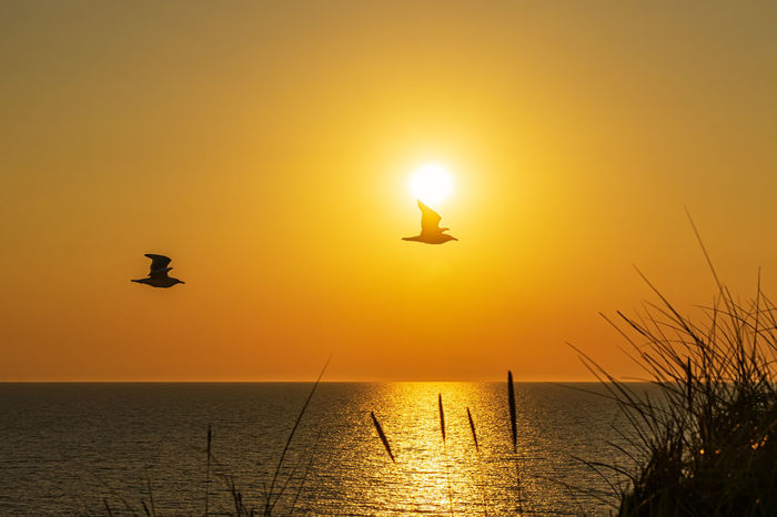 Backlight Kampen, Sylt Silhouette Sylt, Germany Animal Wildlife Animals In The Wild Beauty In Nature Bird Flying Horizon Over Water No People North Sea Orange Color Scenics - Nature Sea Seagull Silhouette Sky Summer Sun Sunset Sylt Tranquil Scene Water