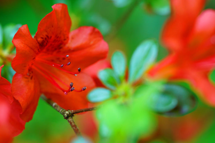 Beautiful detail of a red colored flower and green leaves Flowering Plant Flower Plant Red Close-up Beauty In Nature Freshness Growth Petal Fragility Vulnerability  Flower Head Inflorescence Selective Focus No People Nature Day Pollen Green Color Focus On Foreground
