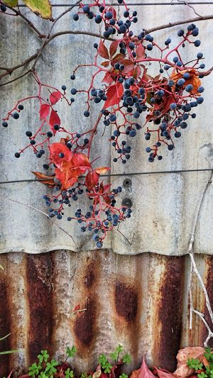 Backgrounds Day Outdoors No People Nature Plant Autumn Leaves Creeper Plant Fruitw
