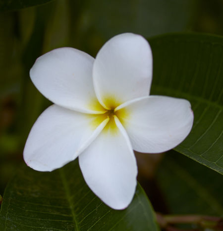 Beauty In Nature Close-up Flower Flower Head Flowering Plant Focus On Foreground Fragility Frangipani Freshness Growth Inflorescence Leaf Nature No People Outdoors Petal Plant Plant Part Vulnerability  White Color