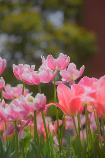 Tulips Snapshot Nature Photography Flowers Colors Yokohama Spring Flowers Snapshots Flower Collection