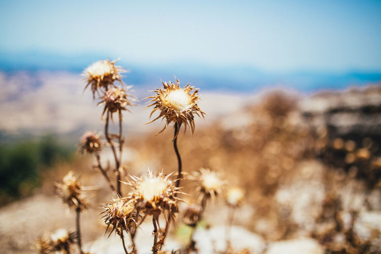 Close-up of white dandelion flower in field