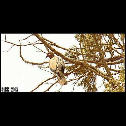 2008 يمامة طير Bird