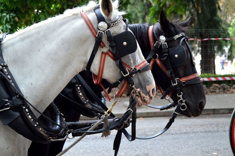 Drawn by two beautiful horses, black and white, standing in the center of city  of tourists.
