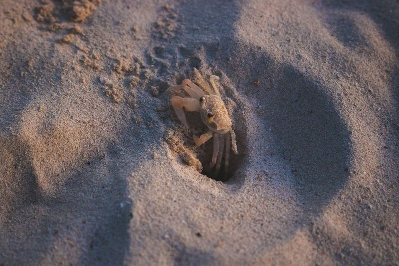 A tiny crab crawling out of a hole it dug. Sand Beach One Animal High Angle View Nature Animals In The Wild Outdoors Close-up Hawaii Beach Photography Crab