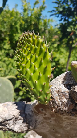 Prickly Pear Cactus Close up Travel Blue Sky Cactus Flora Foliage, Vegetation, Plants, Green, Leaves, Leafage, Undergrowth, Underbrush, Plant Life, Flora Fresh Green Color Greenery Nature Plant Prickly Pear Cactus Sunlight
