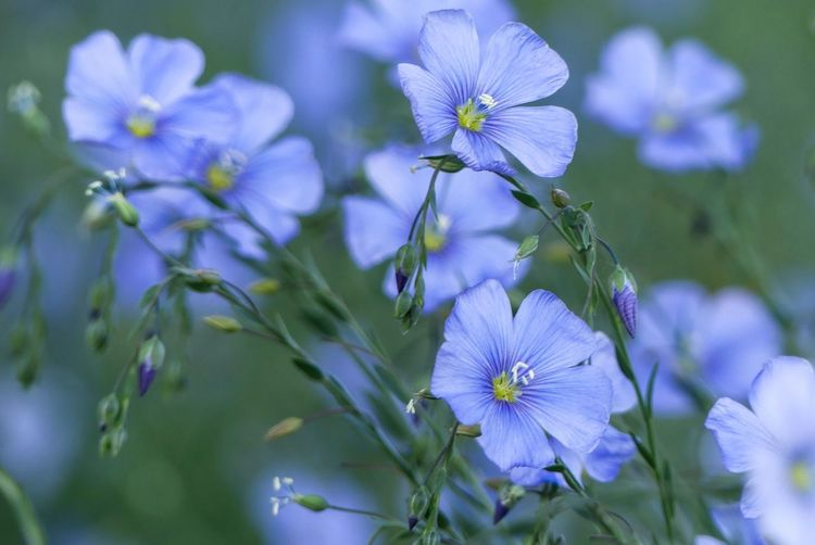 Linum Linum Flowers Flower Head Blue Blue Flowers Full Frame Outdoors Nature Idyllic Beauty In Nature Background Power In Nature Beauty In Nature Flower Head Flower Petal Springtime Close-up Plant Plant Life Flowering Plant In Bloom Blossom Botany Stamen Wildflower Pistil Pollen Blooming