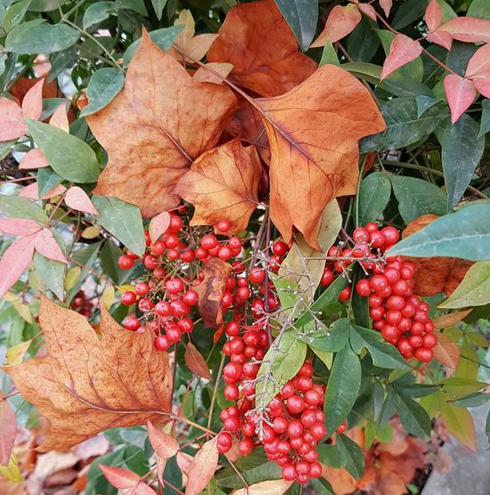 Leaf Change Autumn Nature Plant Red Growth Beauty In Nature Maple Leaf Leaves Close-up Outdoors No People Day Maple Fragility Tree Autumn Leaves Beauty In Nature Berries Autumn Colors Redberries Autumn Colours