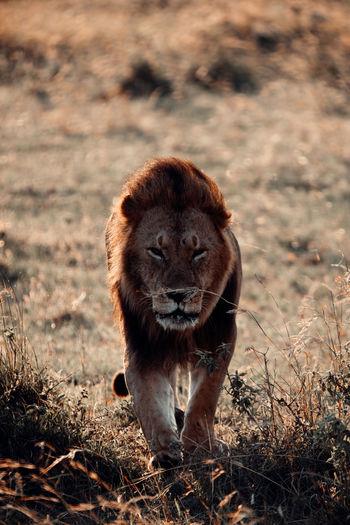 Portrait of lion in the field