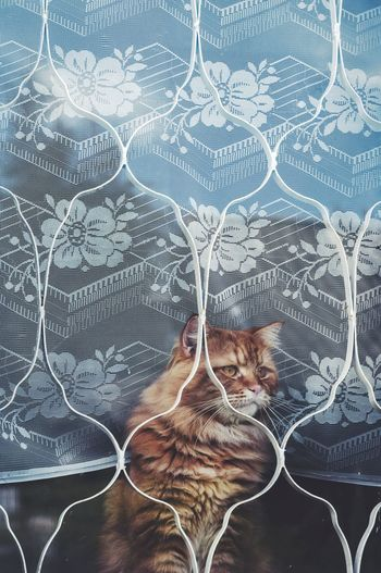 Cat seen through curtain