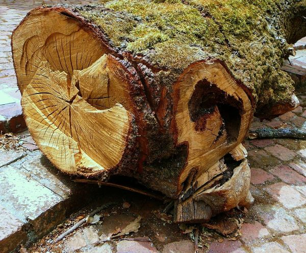 Logged Wood ~ Animal Themes Chopped Down Tree Close-up Day Hollow Trunk Lichen On A Tree Mossy Tree Nature No People Outdoors Sunlight Tree Tree Ring Trunk Tree