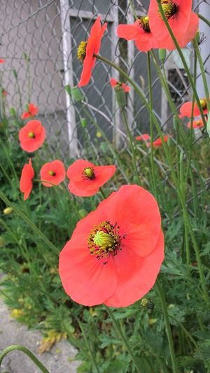 Growth Plant Red Poppy Nature Outdoors Day No People Beauty In Nature Close-up Flower Fly Agaric Mushroom
