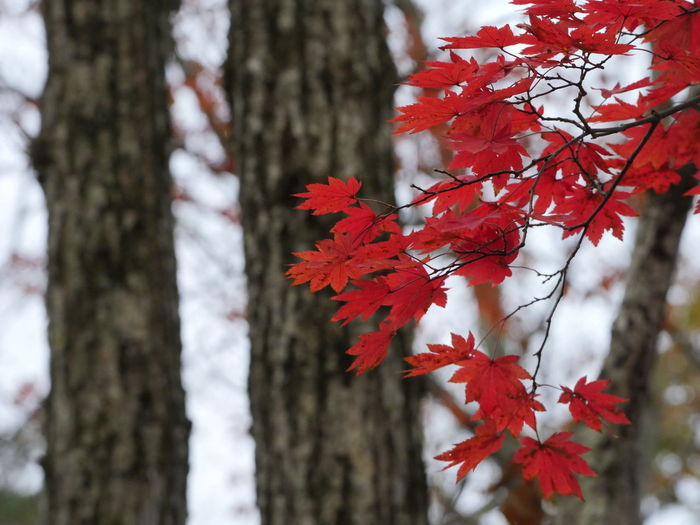 Autumn Beauty In Nature Change Maple Maple Leaf Nature No People Outdoors Red