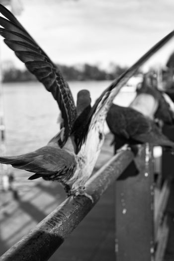 Focus On Foreground Water Bird Day Nature Vertebrate Animals In The Wild Group Of Animals Animal Wildlife Sky Rope Nautical Vessel Outdoors Railing Transportation Metal Men Blackandwhite Streetphotography The Art Of Street Photography