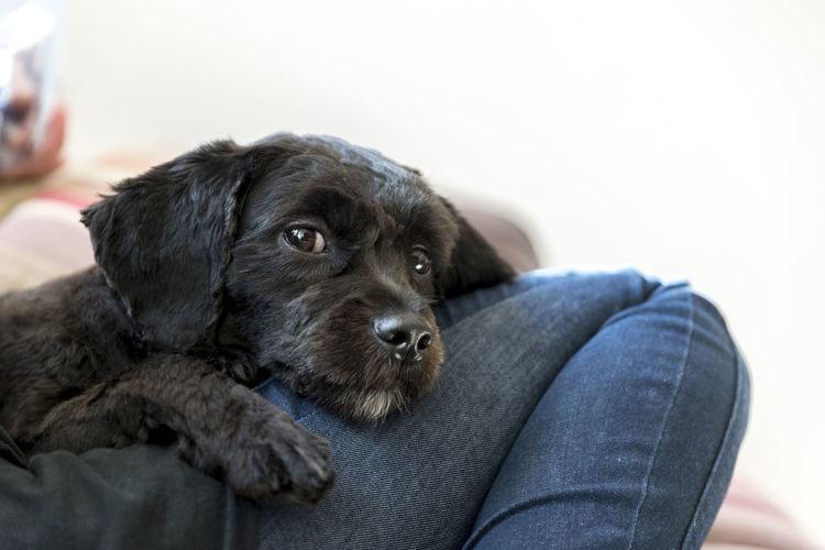 Close-Up Of Cute Black Puppy