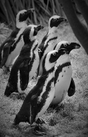 High angle view of penguins on field