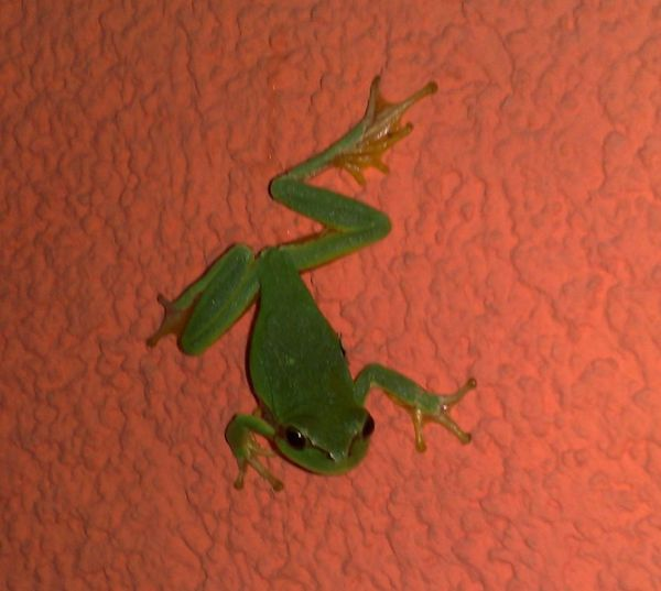 Animals In The Wild Frog Green Color Kroatien Nature One Animal Orange Color Outdoors Pula Croatia