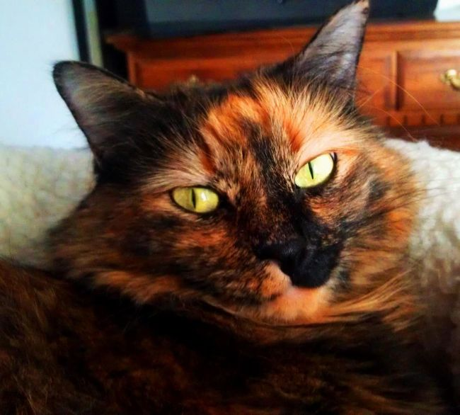 Cats Of EyeEm Colors Of Autumn Catitude Close-up Domestic Cat Green Eyed Cat No People Pets Purr-sonality Striking A Pose Tortoiseshell Cat Whisker Yellow Eyed Cat