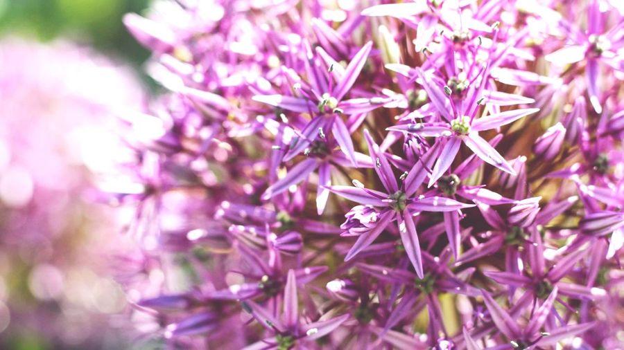 Allium Puff