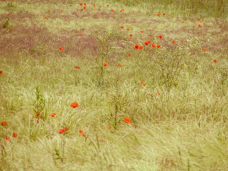 The Poppy Field. Grass Red Field Growth Nature Outdoors Day No People Flower Poppy Beauty In Nature Freshness Close-up This Week On Eye Em Artistic Photo Imagination And Creative EyeEm Selects EyeEm Gallery Wildlife & Nature EyeEm Nature Lover Scenics Backgrounds Landscape Fragility Freshness