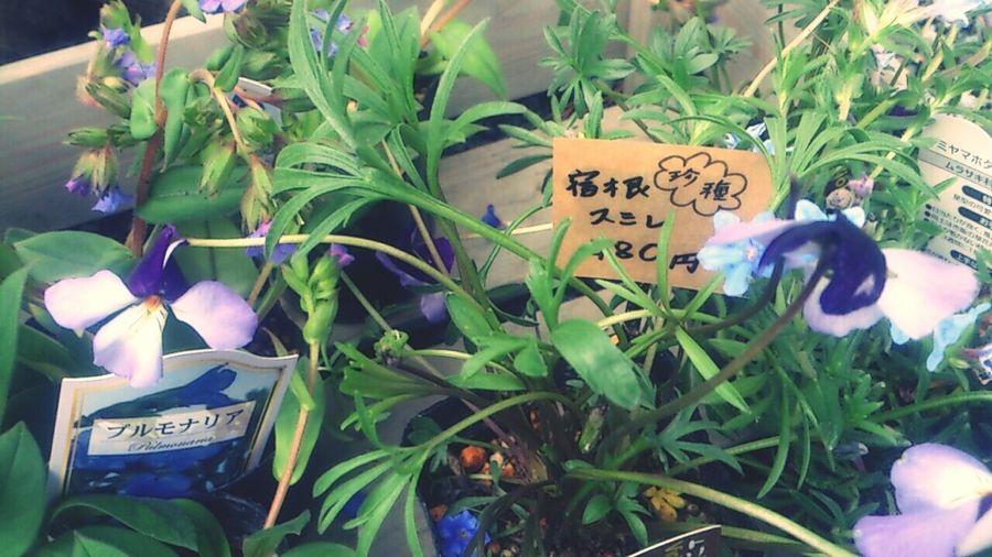 Aso Kumamoto  Spring Flower Violet