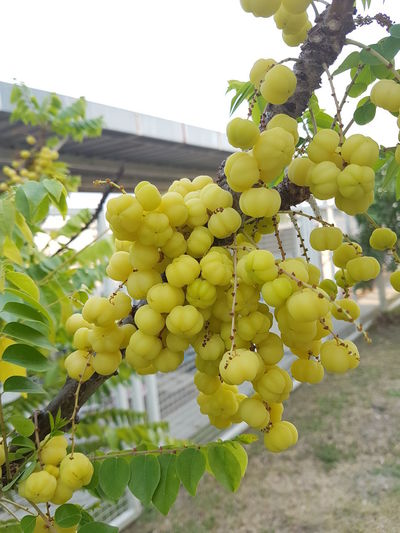 star gooseberry Food Freshness Green Color Growth No People Outdoors Star Gooseberry