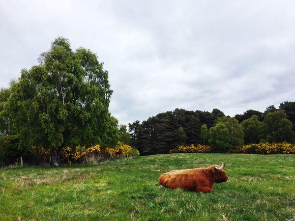 Heilan' coo, Nairn, Scottish Higlands Nairn Scotland Scottish Highlands