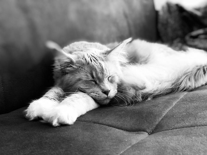 🦁❤️ Like Followme Mainecoon EyeEm Selects One Animal Animal Themes Animal Vertebrate No People Pets Domestic Animals