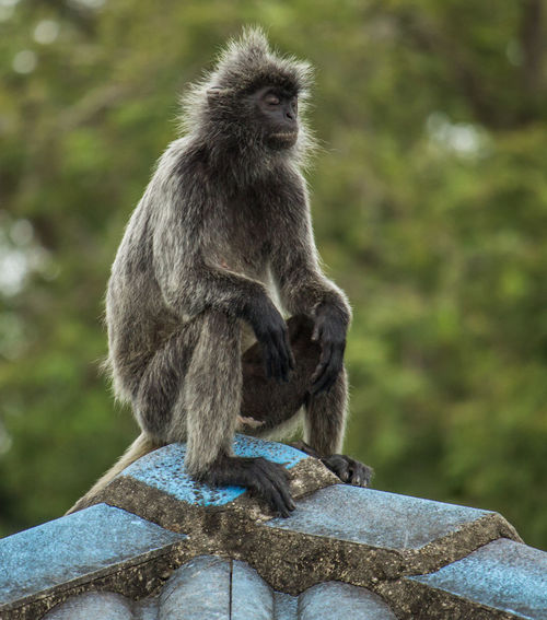 Grey Monkey Resting On The Roof Monkey On Roof Monkeys Nature Nature On Your Doorstep Nature Photography Nature's Diversities Sitting Animal Sitting Cute Monkey Grey Monkey Mammal Sitting Monkey Monkey Photography Monkeys Sitting Nature Lover Nature Monkey Nature _collection Nature_collection Naturelovers Naturephotography Roof Monkey Sleeping Monkey Street Monkey Street Photography Streetphotography
