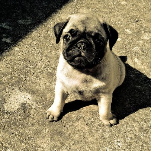 Babyanimal Mypet Followme Cute Pug Dog Puppy Pugdog Pugsofinstagram Baby Love Puggy