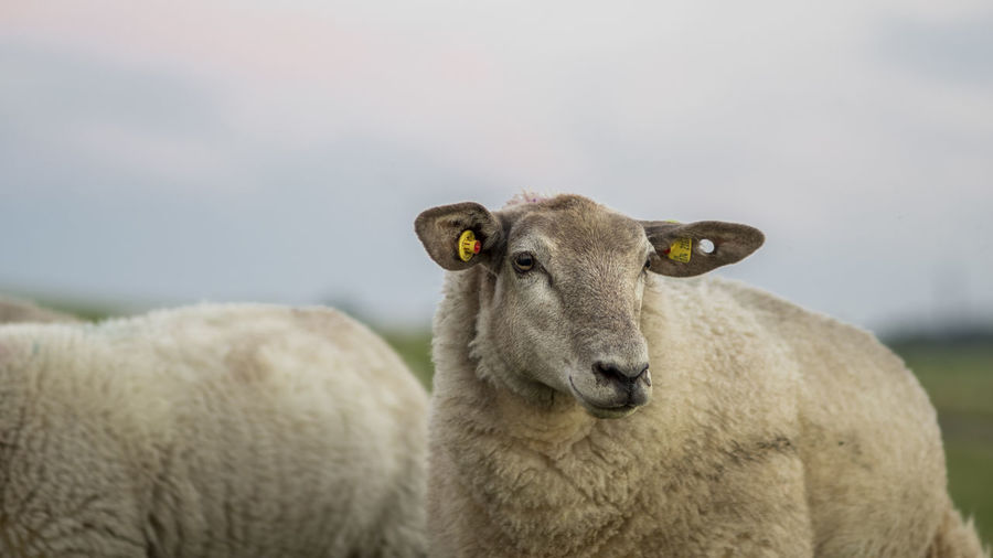 Close-up of sheep on farm