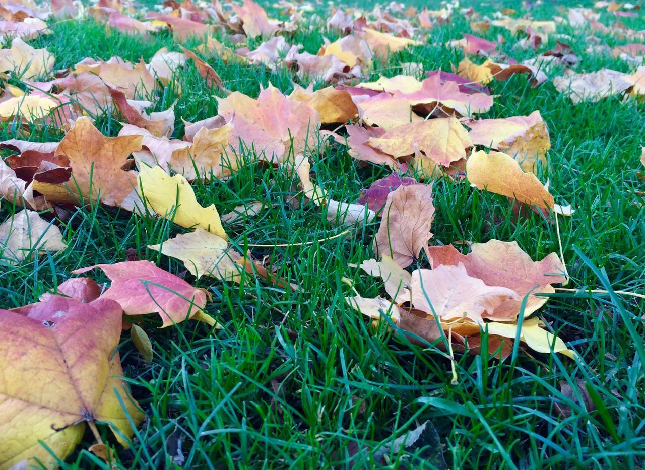 plant, growth, land, beauty in nature, field, leaf, plant part, nature, autumn, no people, grass, day, change, close-up, vulnerability, fragility, leaves, mushroom, falling, flowering plant, outdoors, maple leaf, toadstool