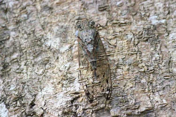 Beetle Cicada オオシマゼミ セミロング 蝉
