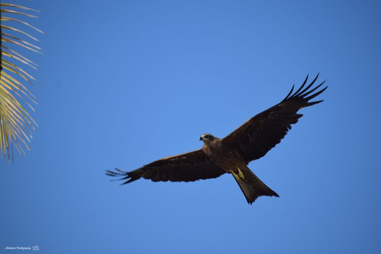 Eagle In Flight Close-up Brown Color Nature Eagle Sky Clear Sky Blue Clicked On Nikon D3300 Eagle - Bird