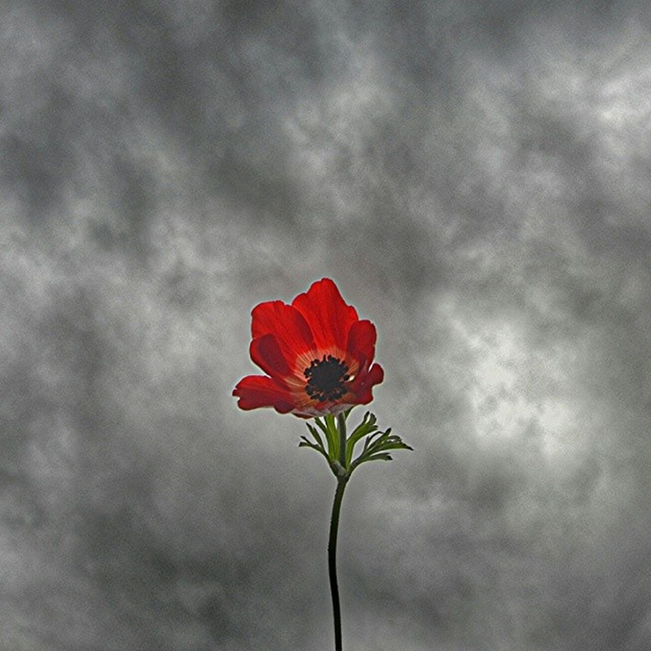 flower, petal, freshness, flower head, fragility, growth, red, beauty in nature, sky, single flower, nature, stem, blooming, cloud - sky, plant, close-up, focus on foreground, poppy, blossom, cloud