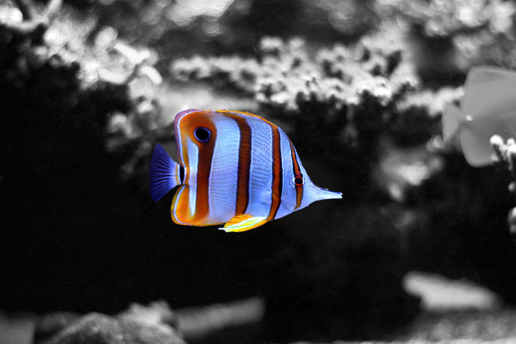 Animal Themes Animal Wildlife Animals In The Wild Aquarium Beauty In Nature Close-up Clown Fish Day Fish Focus On Foreground Indoors  Multi Colored Nature No People One Animal Sea Sea Life Swimming UnderSea Underwater Water Aquarium Fish Butterflyfish Copper-banded Butterflyfish Copperband Butterflyfish