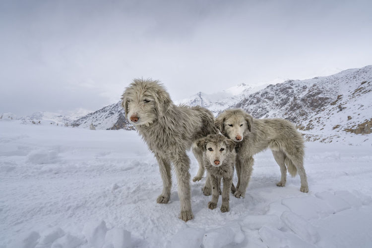 View of dogs on snow covered field against sky