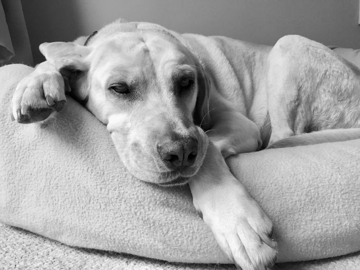 Labrador Dog Pets Domestic Animals Mammal Animal Themes One Animal Relaxation Lying Down Home Interior Indoors  Sofa Comfortable No People Close-up Portrait Day