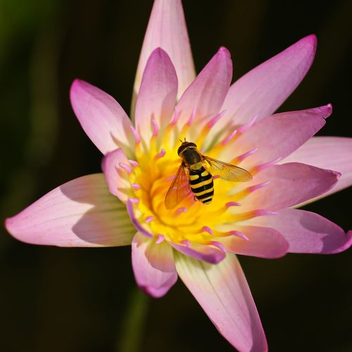 Water lily with hoverfly Animal Wildlife Animals In The Wild Beauty In Nature Close-up Flower Flower Head Flowering Plant Fragility Freshness Growth Hoverfly On Flower Inflorescence Insect Invertebrate Nature No People One Animal Outdoors Petal Pink Color Plant Pollen Pollination Vulnerability  Water Lily