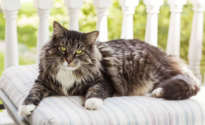 Maine Coon Cat On Porch Cat Close-up Domestic Domestic Animals Domestic Cat Feline Focus On Foreground Furniture Looking At Camera Maine Coon Cat Mammal No People One Animal Pets Portrait Relaxation Vertebrate Whisker