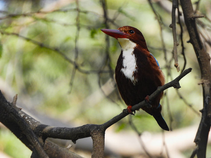 white throated kingfisher Kingfisher White Throated Kingfisher White Breasted Kingfisher Halcyon Halcyon Smyrnensis Beak Bird Beauty In Nature Perched Branch Tree Animal Bird Tree Branch Perching Full Length Close-up Animal Neck Tree Trunk